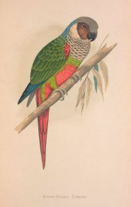 Maroon-faced Parakeet
