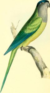 Grey-breasted Parakeet