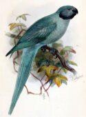 Parrot Rodrigues