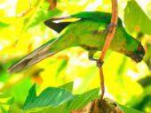 Periquito-de-uvea