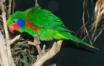 Red-flanked Lorikeet