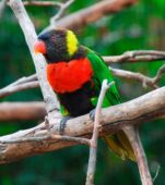 Scarlet-breasted Lorikeet
