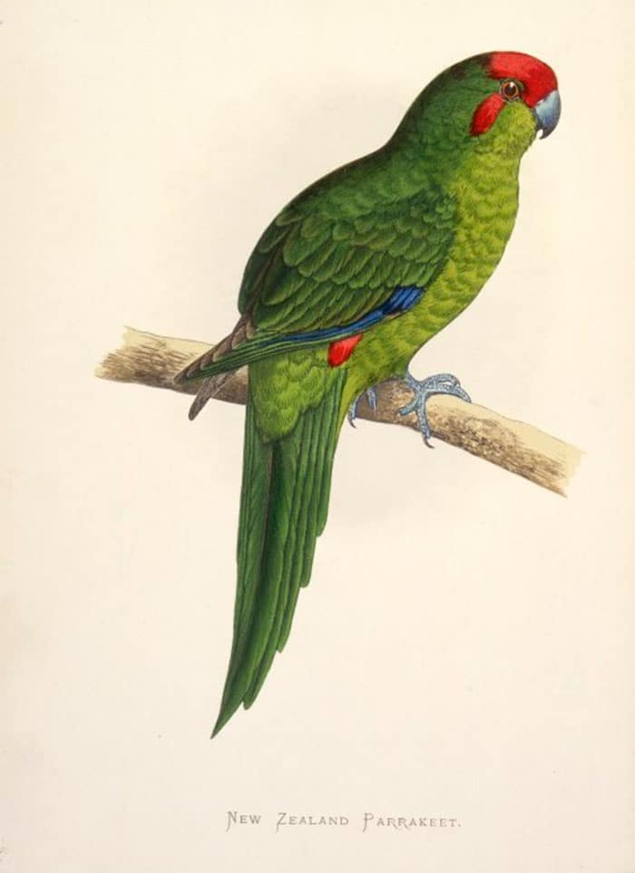 Macquarie Parakeet - Cyanoramphus erythrotis
