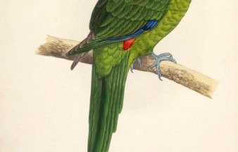 Macquarie Parakeet †