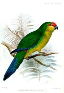 Perico de Nueva Caledonia