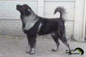 Sarplaninac FCI 4302 - Awesome Dog Bux 5.JPG