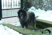 Sarplaninac FCI 4302 - Awesome Dog Rex 454.JPG