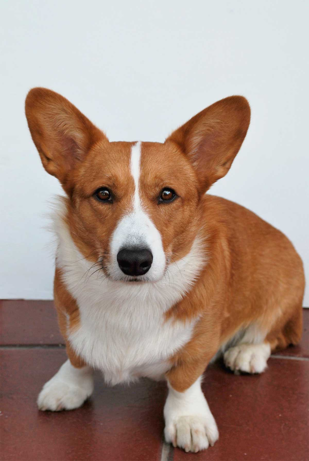 Corgi-Cardigan Welsh-de-
