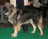Karst-Schäferhund