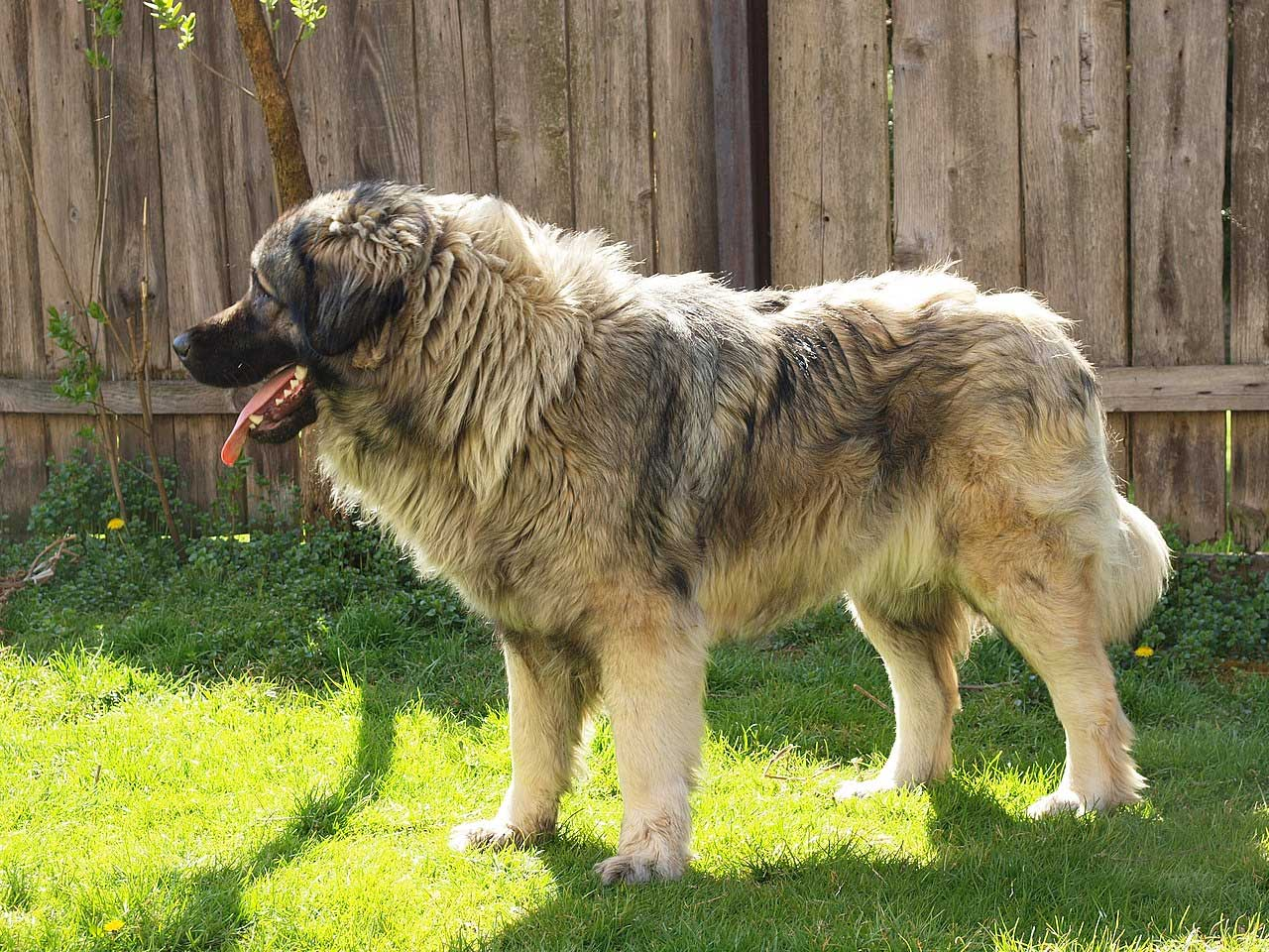 Yugoslavian Shepherd Dog Sharplanina