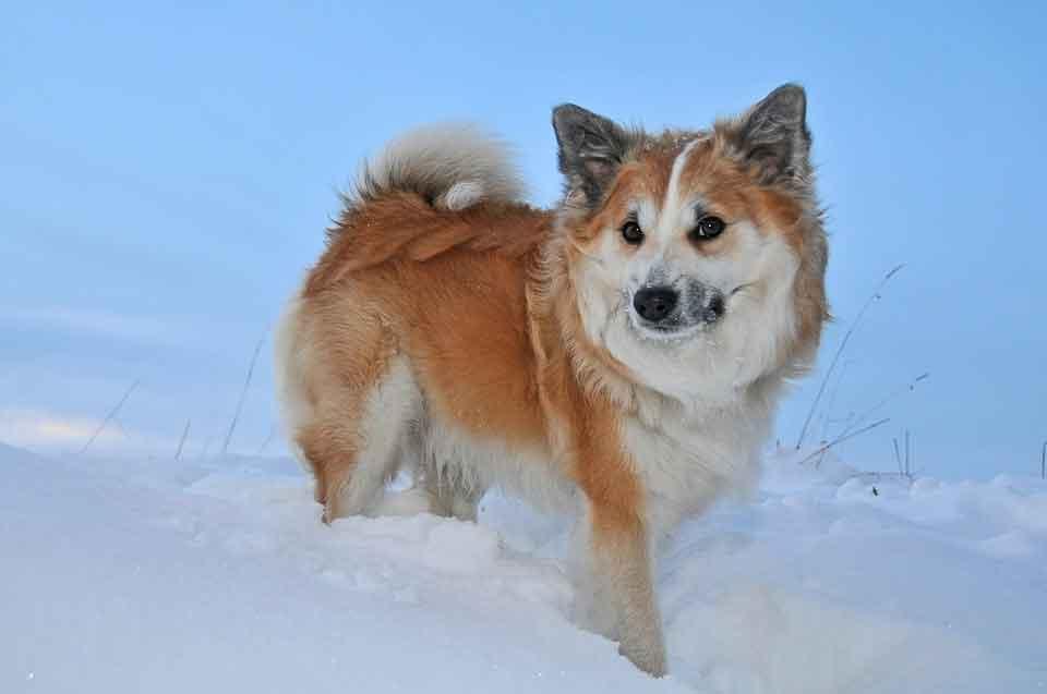 Perro de pastor islandés