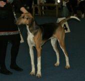 Poitevin (chien)