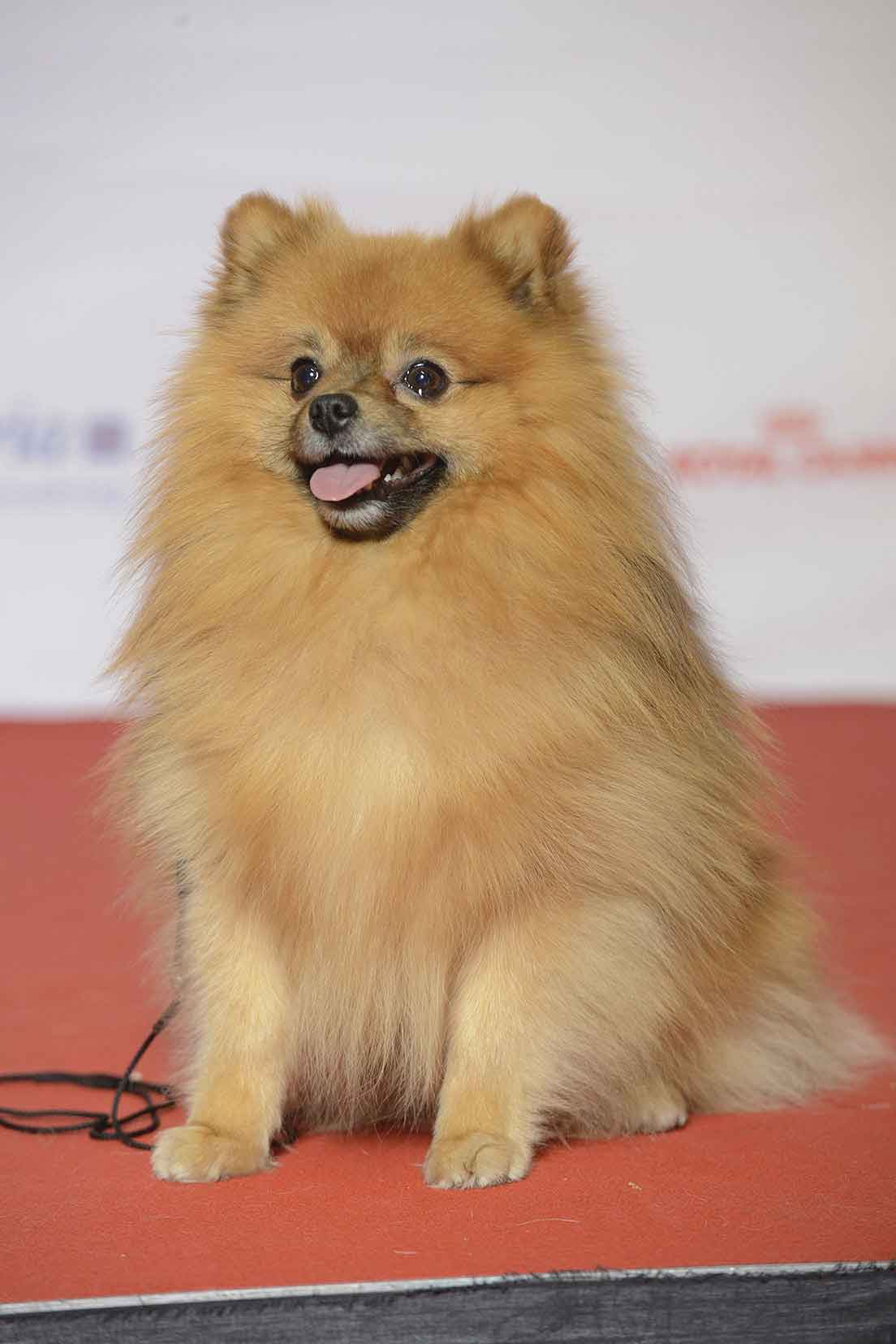 Kleinspitz (Miniature or Small Spitz)