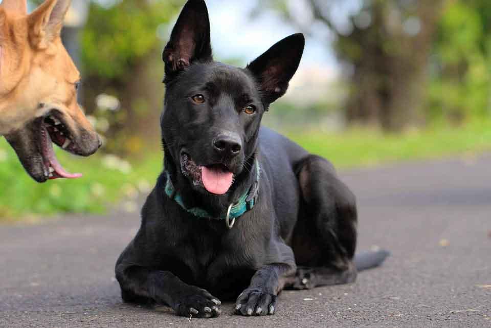Cão-de-taiwan