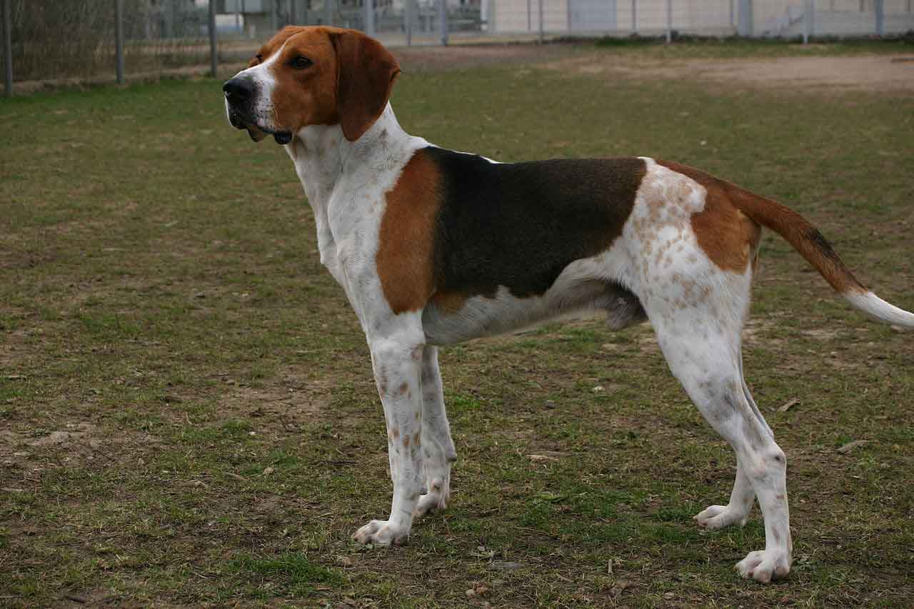 Medium-Sized Anglo-French Hound