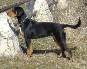 Cão de caça da Transilvânia