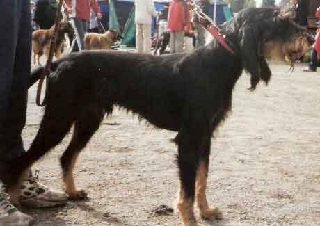 Italian Wirehaired Hound