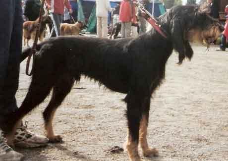 Cão de Pêlo Arame Italiano