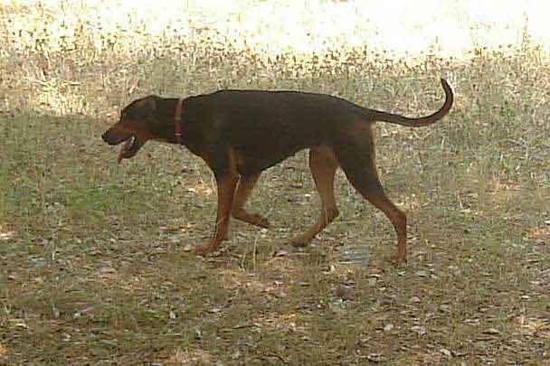 Serbischer Laufhund