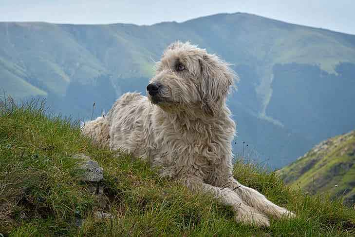 Romanian Mioritic Shepherd Dog