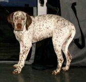 Bourbonnaiser Vorstehhund