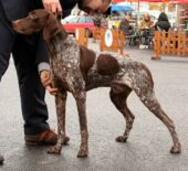 French Pointing Dog - Gascogne type, larger size
