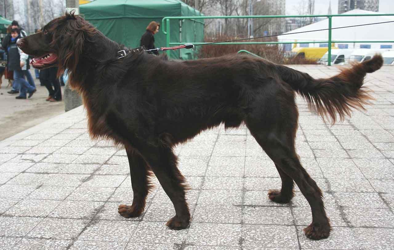 Perro de muestra alemán de pelo largo