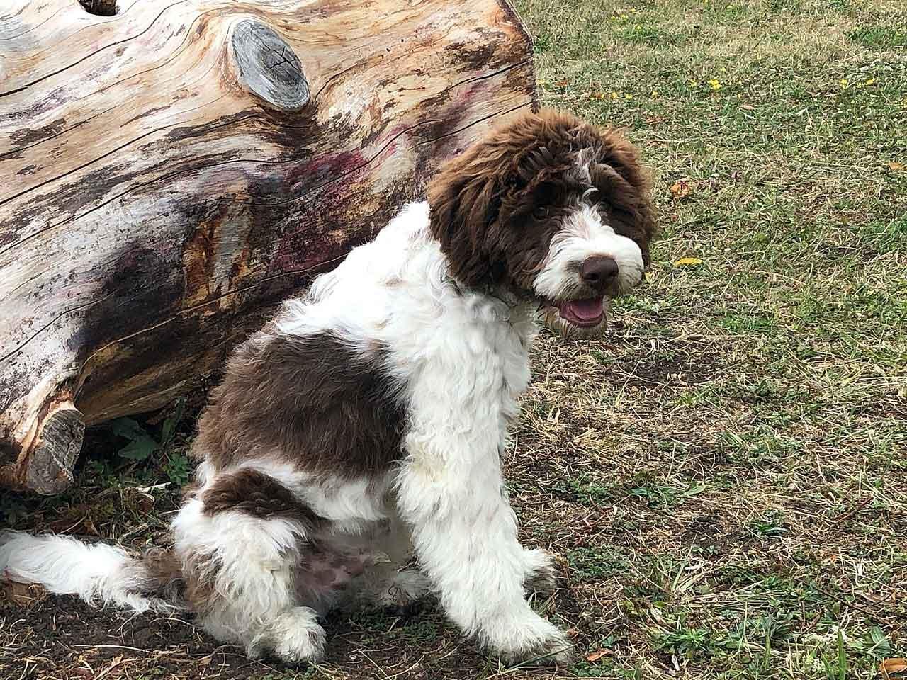 Wasserhund der Romagna