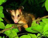 L'opossum nord-américaine